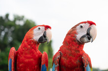 Two Colorful Red Macaws