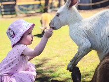 Close-up Of Cute Girl Feeding Kangaroo At A Farm