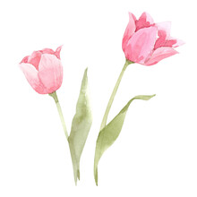 Beautiful Image With Watercolor Gentle Blooming Tulip Flowers. Stock Illustration.