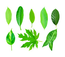 Isolated Leaves On The White Background. Lime Leave. Fresh Leaves. Jack Leaf.