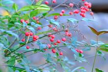 Red Berried Of Nandina Domestica