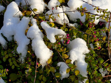 Snow Cap On Cotoneaster In Winter