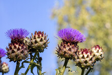 Cardoon Flowers And Buds In Garden Against The Blue Sky