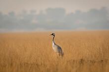 Demoiselle Crane Or Grus Virgo In Open Grassland Or Field Of Tal Chappar Sanctuary Rajastan India