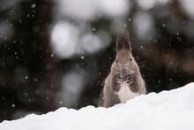 雪の中でクルミを食べるエゾリス