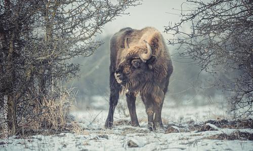 European bison resting on a snow meadow. Fototapete