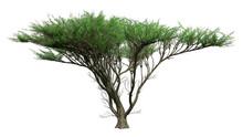 3D Rendering Umbrella Thorn Tree On White