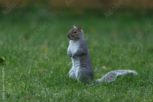 European grey squirrel eating nut and watching