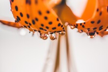 Raindrops Dripping From Tiger Lily Flower