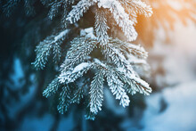 The Green Branches Of The Prickly Spruce Are Covered With Snow And Frost On A Frosty Cold Sunny Winter Day. Christmas.