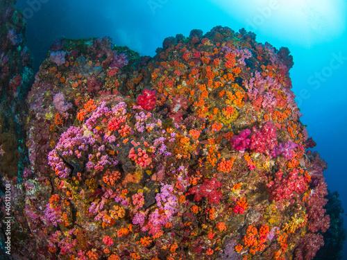 Fototapety, obrazy: Boulder rock fully covered with orange cup corals (Black Rock, Mergui archipelago, Myanmar)