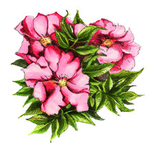 Dog Rose. Watercolor Flowers  Isolated On A White Background.