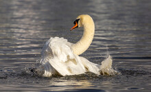 Mute Swan Cleaning Its Feathers On A Pond