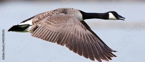 Fotografia, Obraz Canadese Gans; Greater Canada Goose, Branta canadensis
