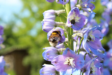 Beautiful Flowers Delphinium And Bumblebee. Close-up. Background. Scenery.