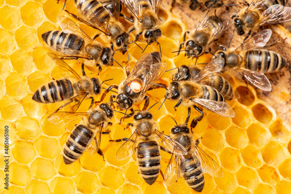 Fototapeta the queen (apis mellifera) marked with dot and bee workers around her - bee colony life