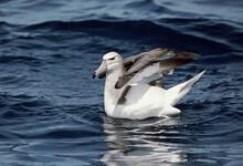 Shy Albatross, Witkapalbatros, Thalassarche Cauta