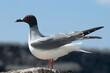 Leinwandbild Motiv Swallow-tailed Gull, Zwaluwstaartmeeuw, Creagrus furcatus