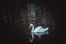Beautiful Landscape With A Swan Floating On The Lake