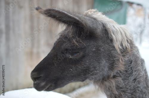 Fototapeta premium Close-up Of A Alpaca Looking Away