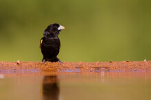 White Winged Widowbird (Euplectes Albonotatus) Sitting In Zimanga Game Reserve In Kwa Zulu Natal In South Africa