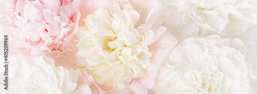 Fototapeta Beautiful aromatic fresh blossoming tender pink peonies texture, close up view. Romantic background obraz