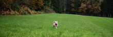 Happy Little White Dog Running In Beautiful Green Meadow