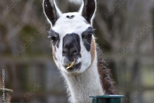 Fototapeta premium Close-up Portrait Of A Alpaka