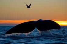 Southern Right Whale - Eubalaena Australis