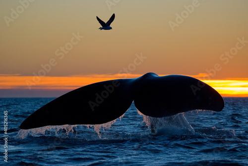 Photo Southern Right Whale - Eubalaena australis
