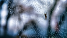 Spider In A Web With Strands Covered With Droplets Of Dew