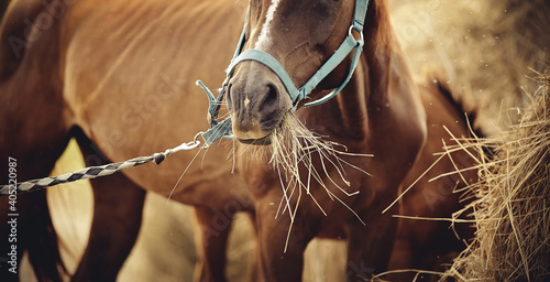 Red mare in a halter eating hay.