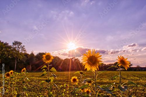 Fotografie, Tablou Gute Laune- Sonnenblumen- Sonnenschein und eine grüne Wiese Dieses Bild entstand spontan