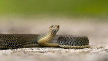 Malpolon Monspessulanus, Known As The Snake From Montpellier, Lying On A Rock. Isolated On Beige-green Background