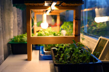 Growing Seedlings Tomatoes, Mint, Cabbage, Other Plants In Plastic Containers On Windowsill Near Window Under Artificial Lighting LED Lamp Solar Spectrum, With Humidity Temperature Control In House