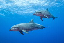 Dolphins In The Blue