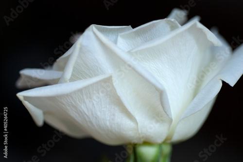 Obraz na plátně WHITE ROSE IN PROFILE #82