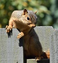 Fox Squirrel On Fence