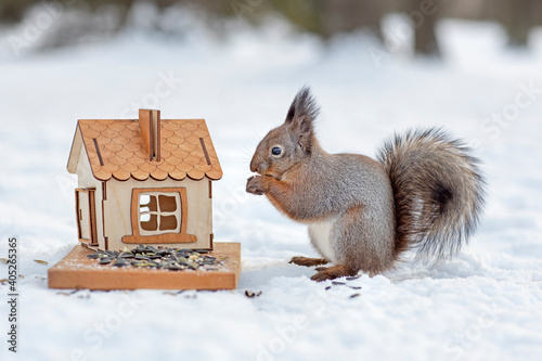 cute fluffy squirrel eats from a feeder in the winter forest, nuts and seeds are a treat for squirrels in the winter season