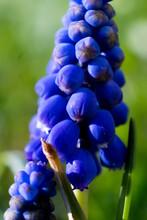 Glockenblume Violett Blau