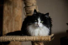 A Beautiful Black And White Longhaired Cat With Green Eyes Looking Into The Camera While Sitting On A Scratching Post In A Home Environment. Warm Colors