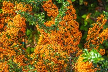 Orange Autumn Berries Of Pyracantha With Green L