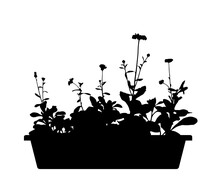 Pot Marigold (Calendula Officinalis) In Planter Silhouette Isolated On White Background