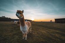 Alpaca At Sunset