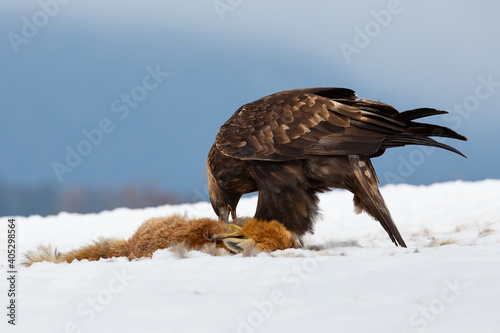 Fototapeta premium Golden eagle, aquila chrysaetos, eating prey on snow in wintertime nature. Wild bird feeding with dead fox from low angle perspective. Brown feathered animal standing on white glade.