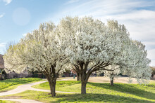 Bradford Pear Trees In Springtime