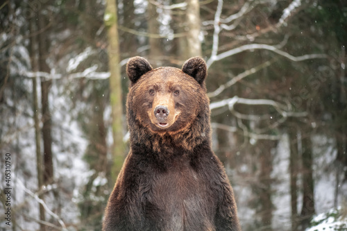 Brown bear in the winter forest