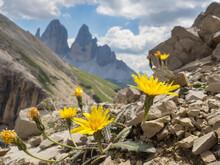 Dandelions Blooming In Sexten Dolomites (Papaver Alpinum)
