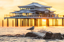 Germany, Schleswig-Holstein, Timmendorfer Strand, Black-headed Gull (Chroicocephalus Ridibundus) Standing On Coastal Rocks At Sunrise With Teahouse In Background