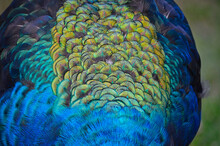 Closeup Shot Of Beautiful And Colorful Peacock Feathers On A Green Background